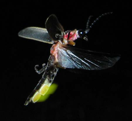 Fireflies Top 10 Light Emitting Creatures