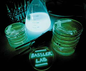 Vibrio Harveyi Bacteria1 Top 10 Light Emitting Creatures