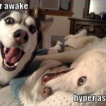 Damned Huskies.. Always Hyper.
