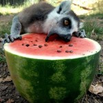 just a lemur eating a watermelon