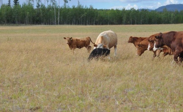Getting Beef Aint Easy Son 01 630x387 Bear Attacks Cows & Learns Getting Beef Isnt Easy