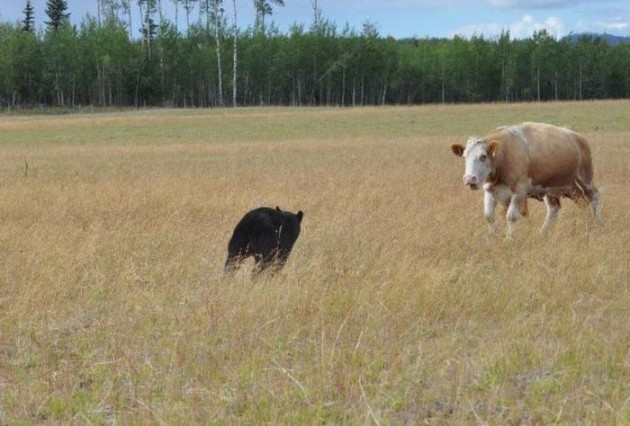 Getting Beef Aint Easy Son 08 630x426 Bear Attacks Cows & Learns Getting Beef Isnt Easy