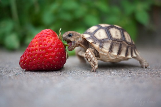I can has my strawberry