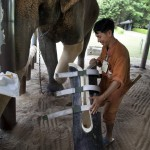 World&#039;s only elephant hospital, Thailand