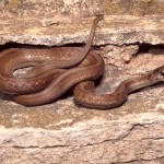 Australian Brown Snake