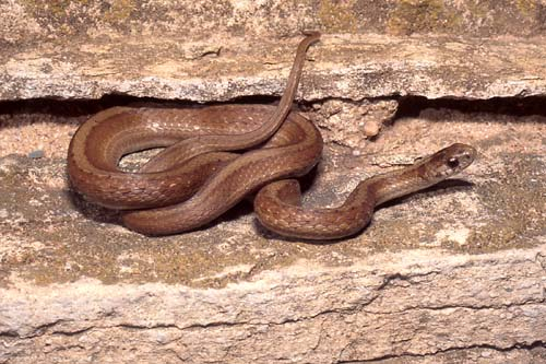 Australian Brown Snake 11 of Australias Most Harmful Animals