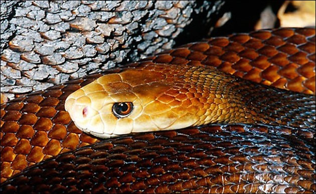 Coastal Taipan 630x387 11 of Australias Most Harmful Animals