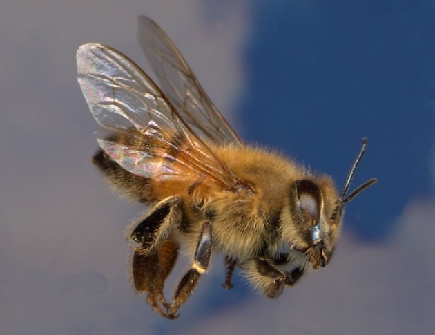 European Honey Bee 630x485 11 of Australias Most Harmful Animals