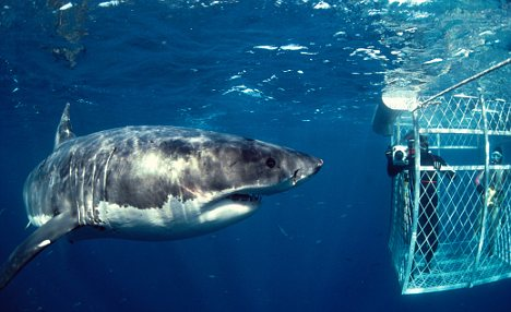 Great White Shark 11 of Australias Most Harmful Animals