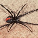 Redback spider