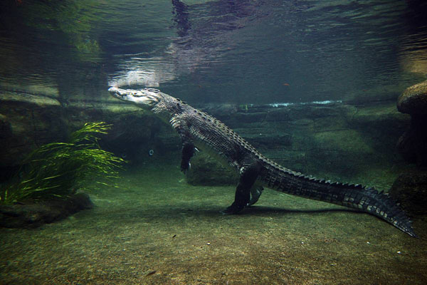 Saltwater Crocodile 11 of Australias Most Harmful Animals