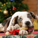 Catahoula Leopard Dog frisst Knochen vor Weihnachtsbaum