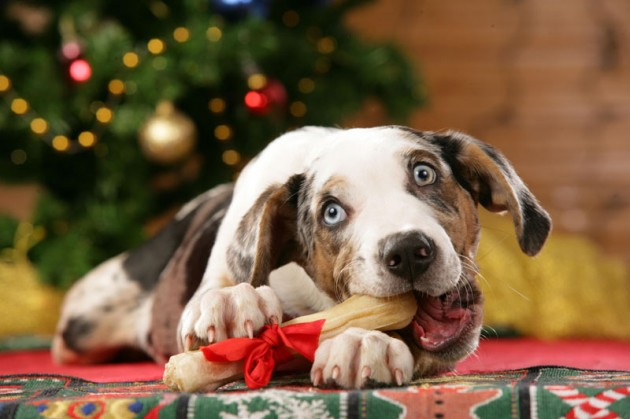 Cute Christmas Animals 04 630x419 55 Pictures of Funny Animals Cutely Enjoying Christmas
