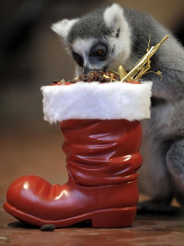 Cute Christmas Animals 11 55 Pictures of Funny Animals Cutely Enjoying Christmas