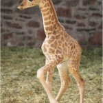 GIRAFFE DANCE