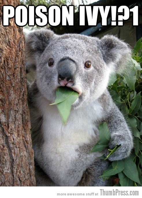 Koala Bear Meme 3 Best Of Surprised Koala Bear Meme (25 Pics)