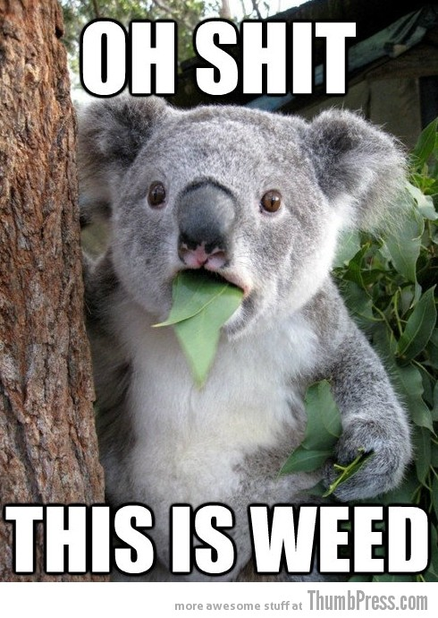Koala Bear Meme 5 Best Of Surprised Koala Bear Meme (25 Pics)