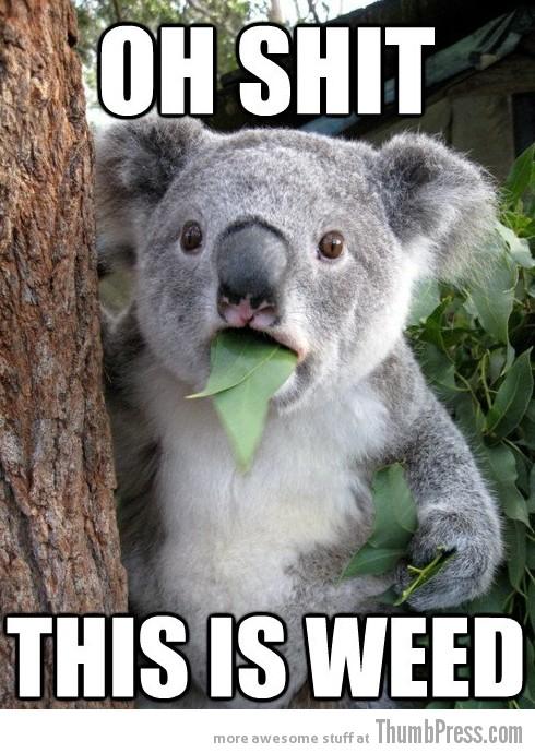 Koala Bear - Meme - 5