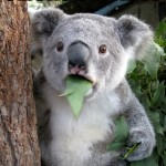 Koala Bear - Meme - 8