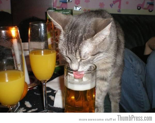 Licking the beer cat Catoxication: 15 Hilarious Pictures of Cats Drinking or Drunk