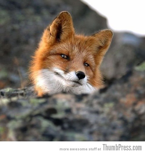 Dapper Fox is Dapper 15 Pictures That Define The Cute Factor