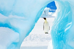 Emperor penguin framed by an iceberg in Antarctica.
