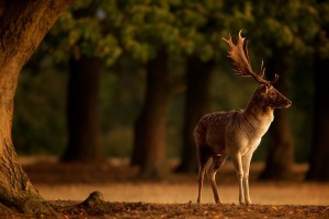 Fallow Deer, Sunrise