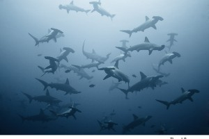 Hammerhead Sharks