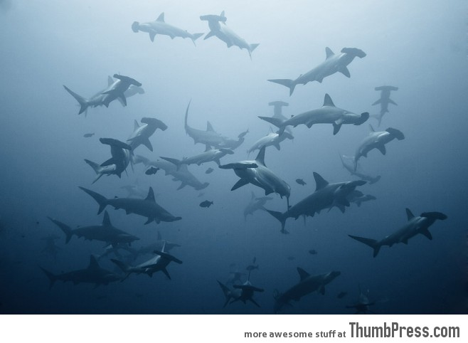 Hammerhead Sharks 658x482 20 Absolutely Amazing High Quality Images of Animals