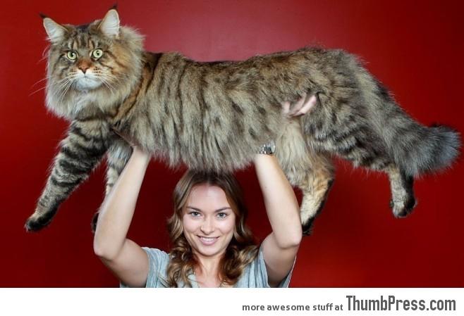 Meet Rupert the giant cat
