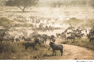 Zebra Migration