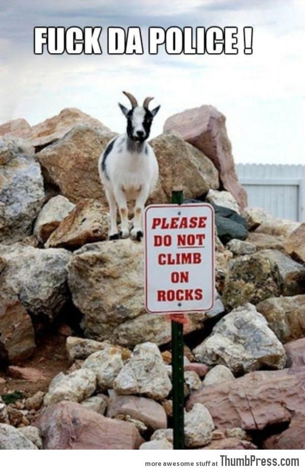 Badass goat ain't afraid!