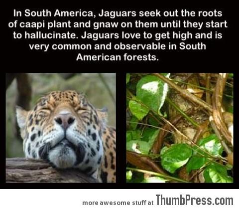 An interesting fact about Jaguars