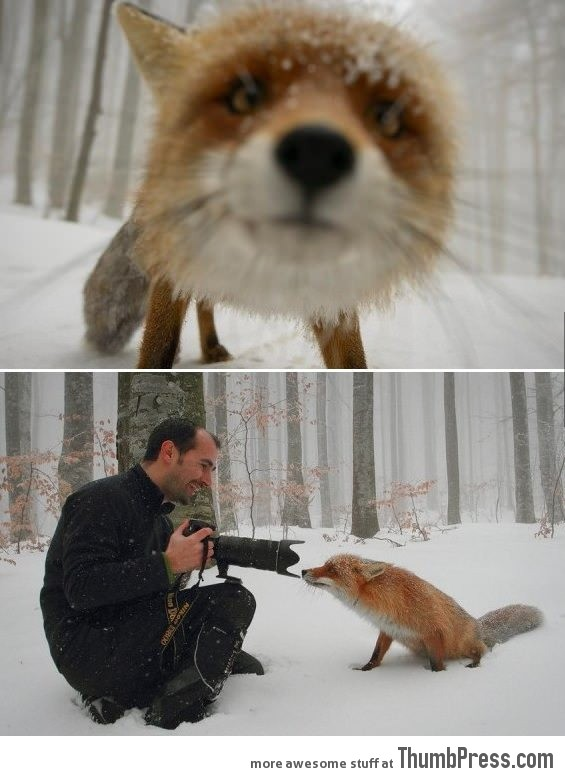 Curious fox - the other angle