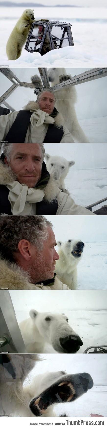 Polar bear is cute, right