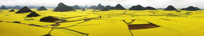 Canola Flower Field, China 1