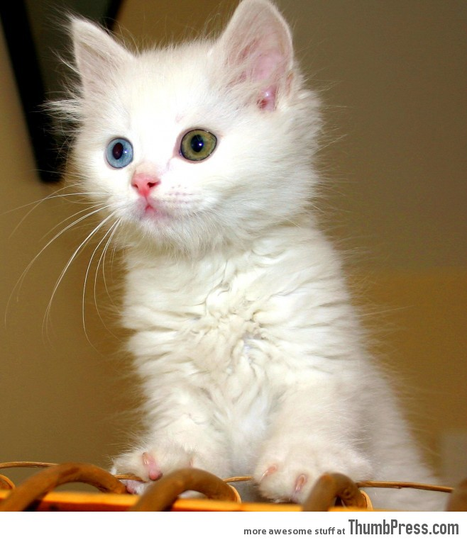 Odd-eyed Van kitten