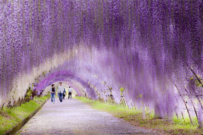 Wisteria Flower Tunnel, Japan 1