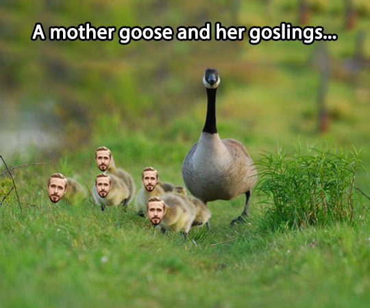 A mother goose and her Ryan goslings…
