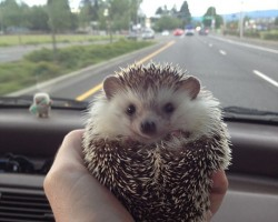 Meet Biddy, the traveling hedghog, who loves to adventure...