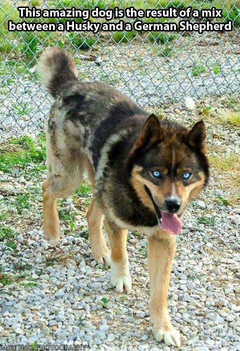cool-dog-Husky-German-Shepherd-mix