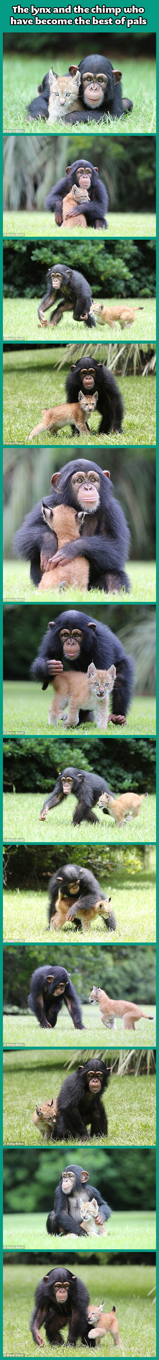 The lynx and the chimp…