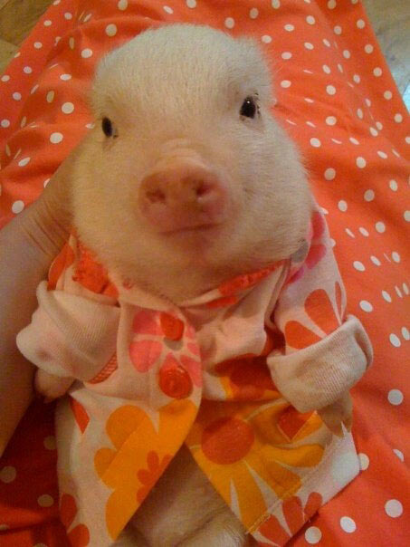 cute-funny-baby-pig-dress