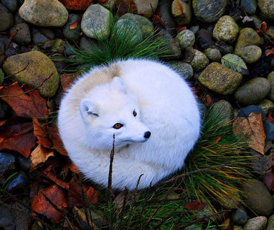 cute-white-arctic-fox