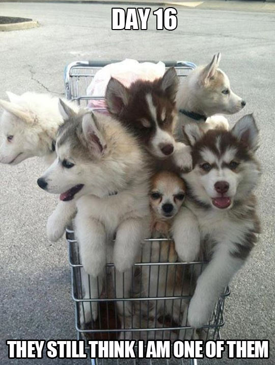funny-Husky-dog-supermarket