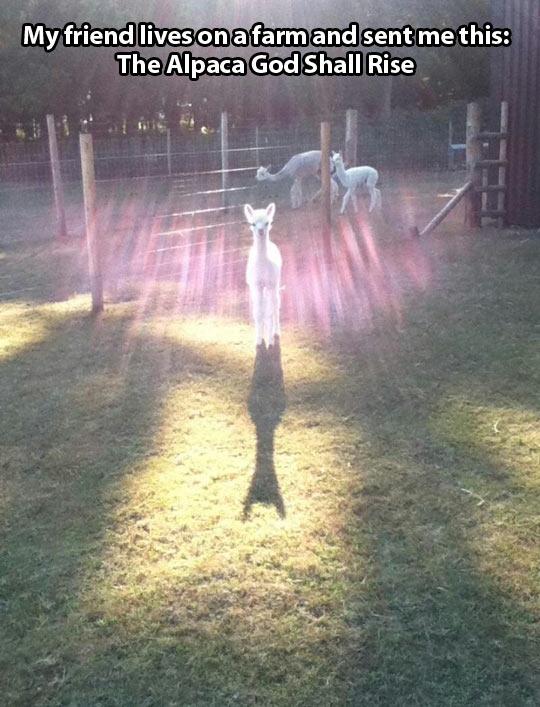 The Alpaca God…