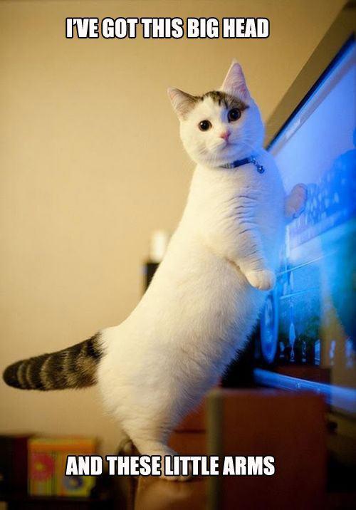 Corgi shaped cat…
