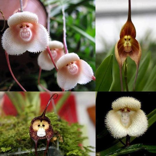 Monkey Orchids…