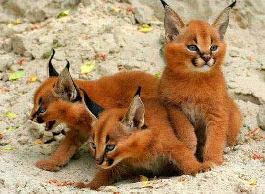 Fox? Cats? Nope, they're Caracal kittens…