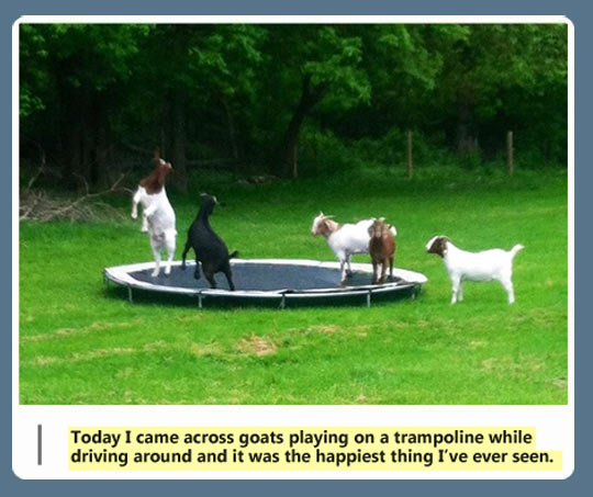 funny-goat-trampoline-grass-jumping